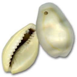 Drilled Money Cowrie Shells