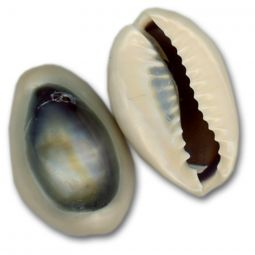 Purple Top Ringtop Cowrie Drilled
