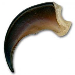 "Replica Black Bear Claw- Medium  2"""